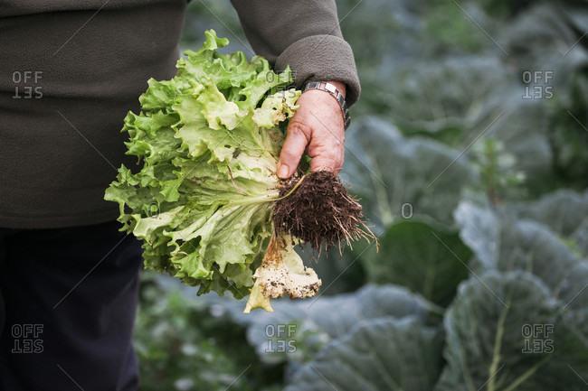 Hand of senior woman holding freshly picked homegrown lettuce from vegetable garden