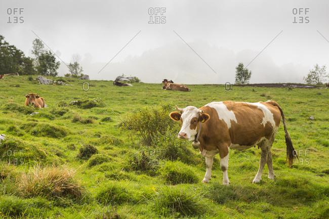Cows in alpine meadow near mountain farm Platina Leskovca in Slovenia, southwestern Julian Alps in northwestern Slovenia