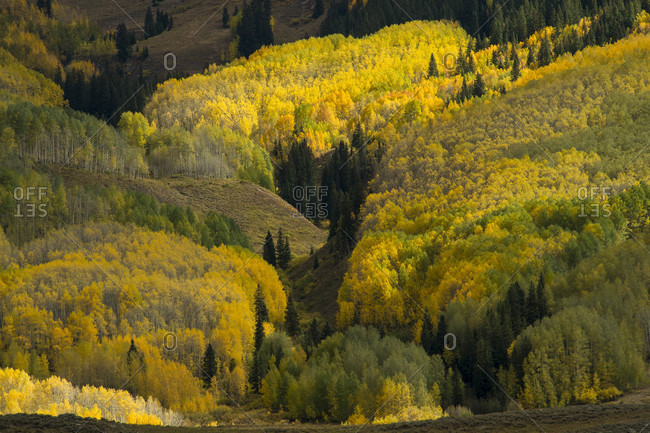 Scenery of forest in autumn, Crested Butte, Colorado, USA