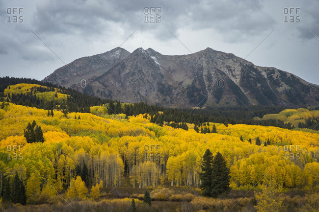 Forest in autumn colors and mountain in background, Kebler Pass near Crested Butte, Colorado, USA