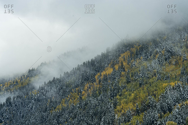 Forest with snow and fog on mountainside, Aspen, Colorado, USA