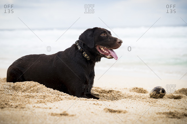Side view of dog sitting in sand on beach and sticking out tongue