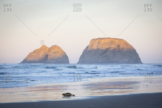 Natural scenery with single seal on beach at sunrise, Netarts Bay, Oregon, USA