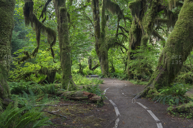 Path through Hall of Mosses through rainforest in Olympic National Park, Forks, Washington State, USA
