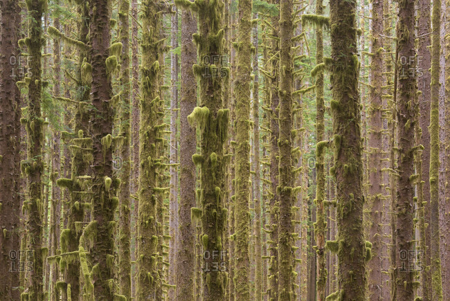 Nature photograph with dense grove of trees in Olympic National Forest, Forks, Washington State, USA