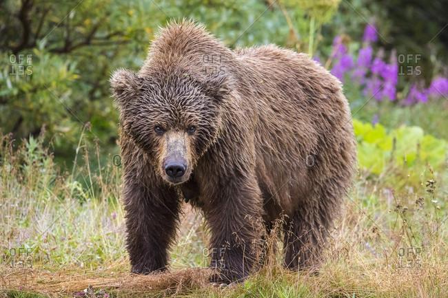 Nature photograph of single female Alaska Peninsula brown bear (Ursus arctos horribilis) in Katmai National Park and Preserve looking at camera, Alaska, USA