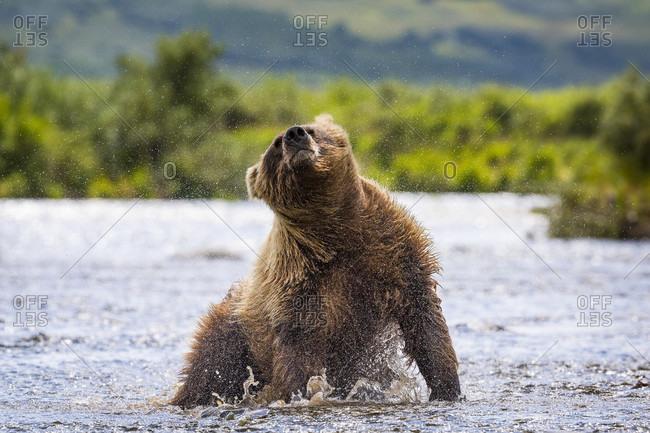 Wet Alaska Peninsula brown bear (Ursus arctos horribilis) shaking off water, Katmai National Park and Preserve, Alaska, USA