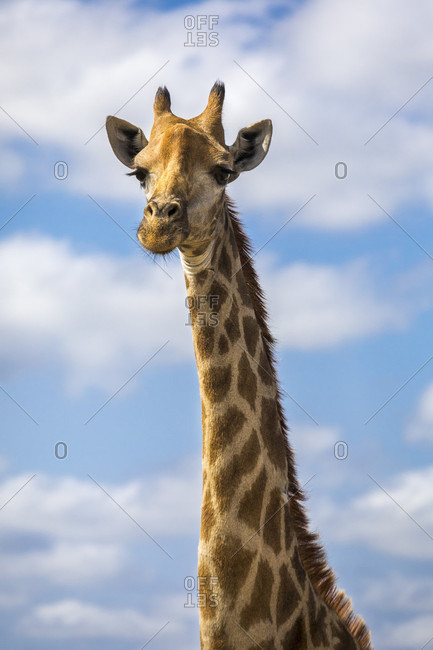 Headshot of giraffe against sky and clouds, Sabi Sands Game Reserve, Mpumalanga, South Africa