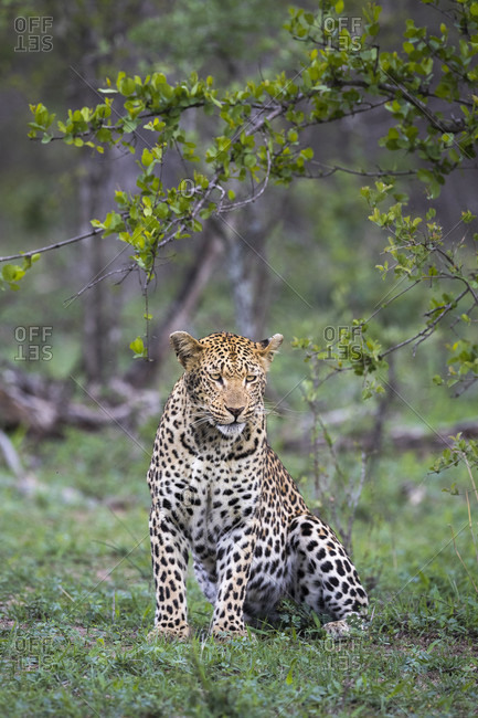 Nature photograph of single female leopard (Panthera pardus) sitting, Sabi Sands Game Reserve, Mpumalanga, South Africa
