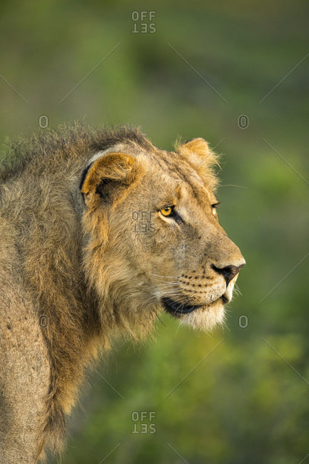Nature photograph with side view headshot of young male lion (Panthera leo), Sabi Sands Game Reserve, Mpumalanga, South Africa