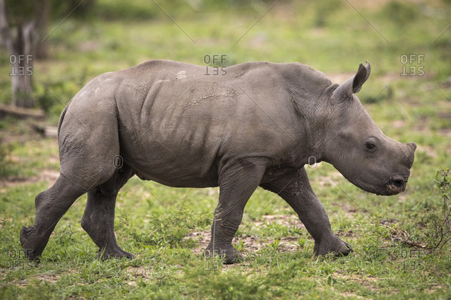 Nature photograph with side view of young white rhinoceros (Ceratotherium simum), Sabi Sands Game Reserve, Mpumalanga, South Africa