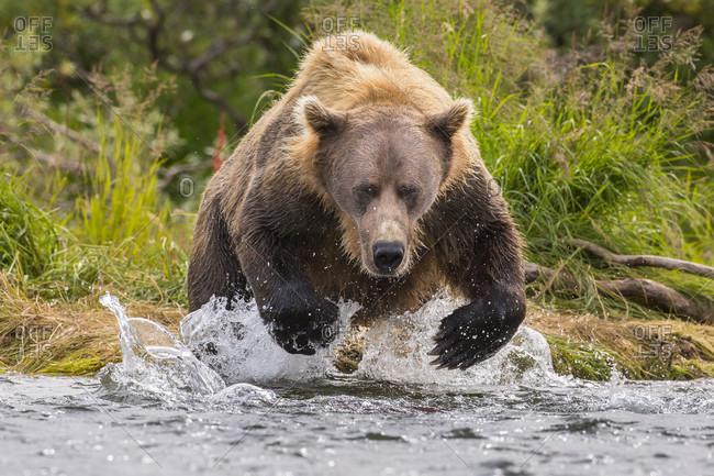 Front view of Alaska Peninsula brown bear (Ursus arctos horribilis) hunting for salmon, Katmai National Park, Alaska, USA