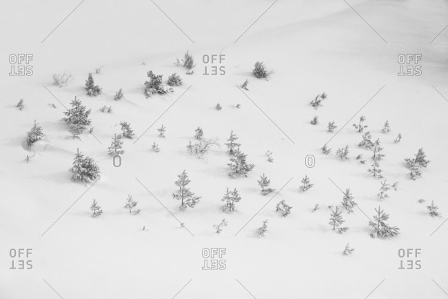 Natural scenery with pine trees in snow in winter, Dhakovo mountain, Kraljevo, Sumadija and Western Serbia, Serbia