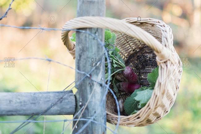 Wicker basket with radishes hanging on wooden fence, Estremoz, Alentejo, Portugal