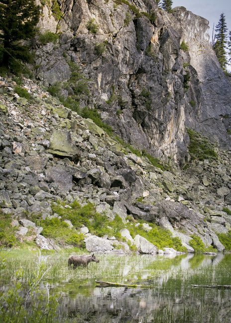 Female Shiras moose (Alces alces) standing below rocky cliffs and grazing in pond grass, McCall, Idaho, USA