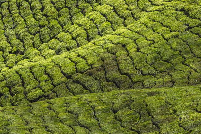 Malaysia, Cameron Highlands, Tea field