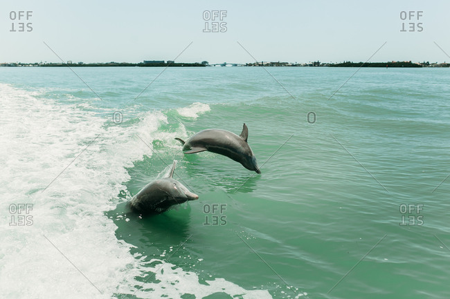 Two dolphins flipping around on a sunny day