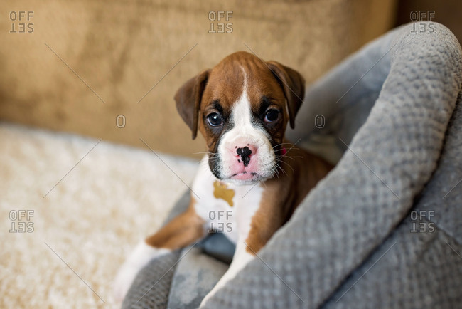 Little boxer puppy in a dog bed