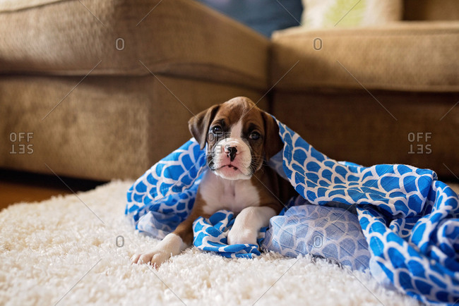 Boxer puppy in a blue blanket