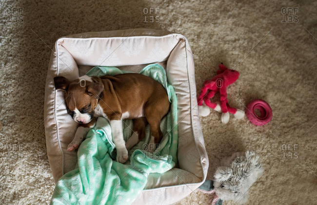 Overhead view of a boxer puppy in a dog bed