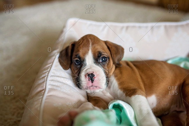 Cute boxer puppy in a dog bed