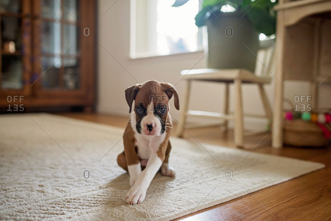 Little boxer puppy sitting on a rug