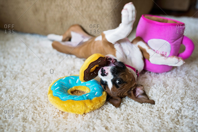 Little boxer puppy playing with toy donuts