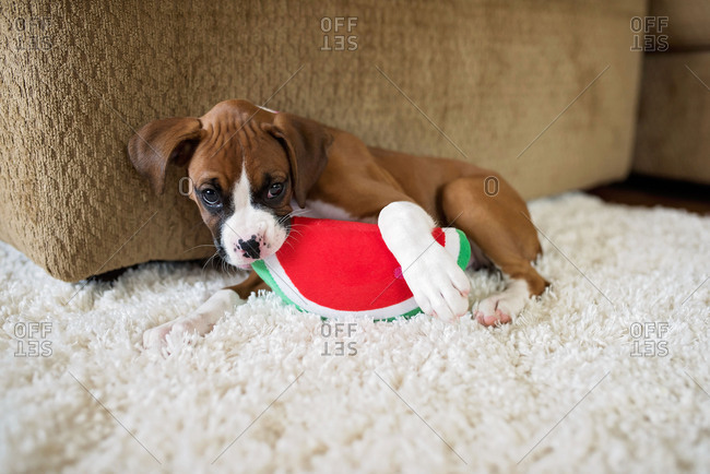 Little boxer puppy playing with toy watermelon