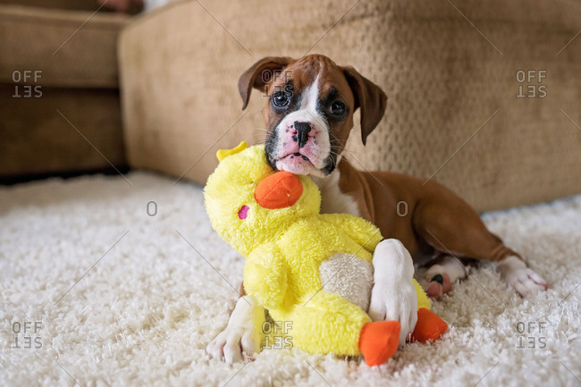 Little boxer puppy playing with toy duck