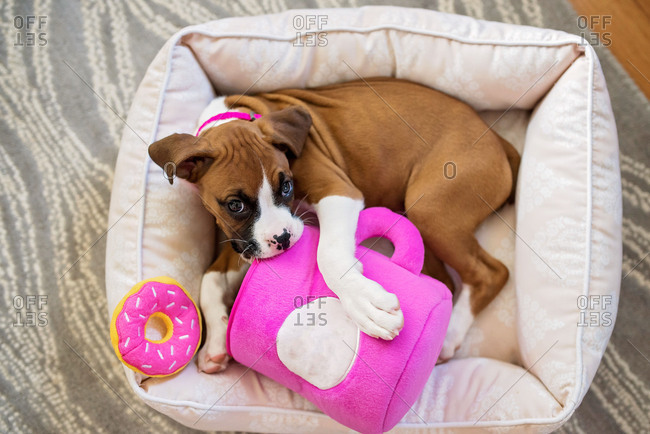 Young boxer puppy in a dog bed chewing toys