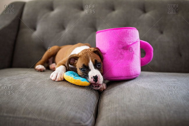 Boxer puppy lying on sofa chewing on toys