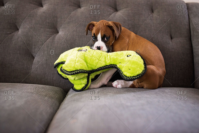 Boxer puppy sitting on sofa chewing on toys