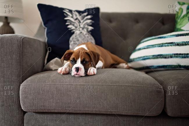 Little boxer puppy lying on sofa