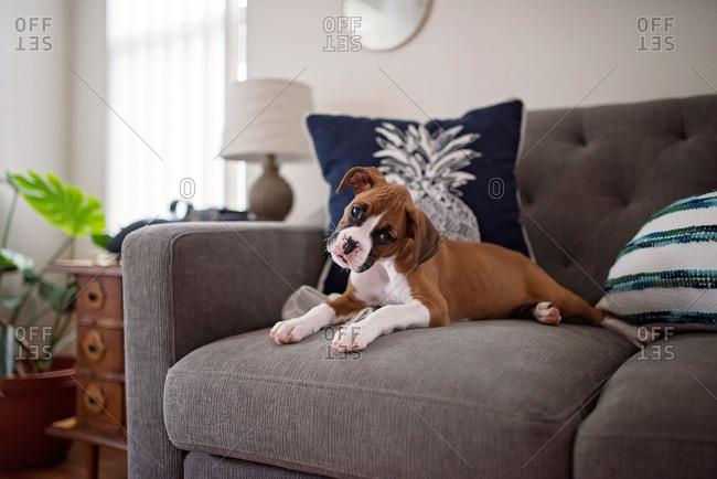 Little boxer puppy sitting on sofa tilting head