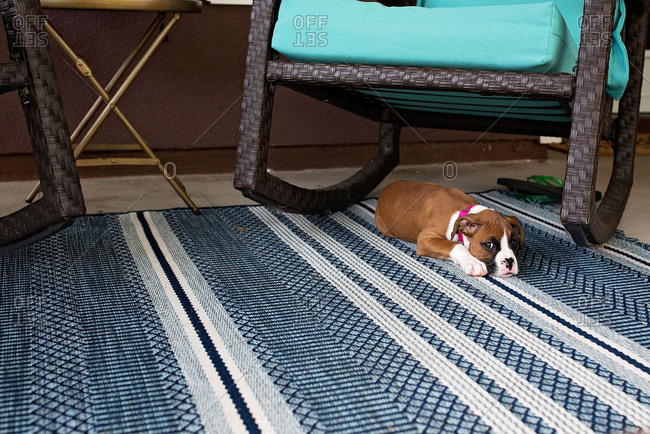 Boxer puppy lying on a rug