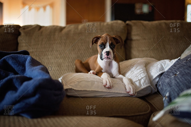 Little boxer puppy lying on a pillow on a sofa