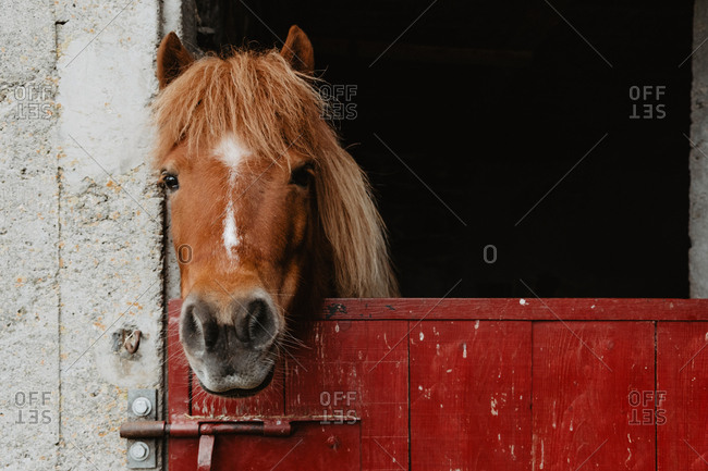 Head of chestnut horse standing at red wooden door in the barn on a farm