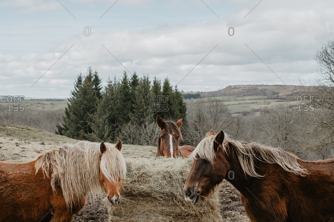 Horses eating hay from roll