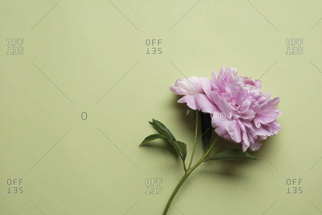 Blooming flower in pastel background