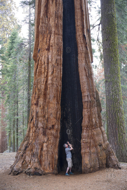 Tourist photographing inside tree at Sequoia National Park