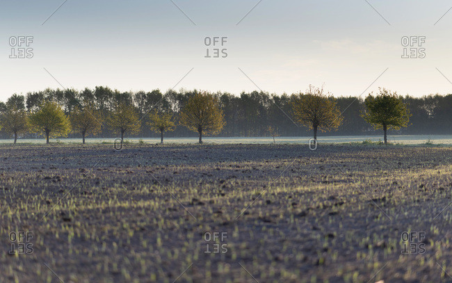 Row of pollard willows in agricultural field.