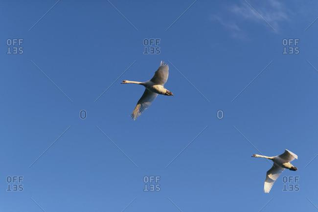 Two mute swans (cygnus olor) in flight in morning sunlight.