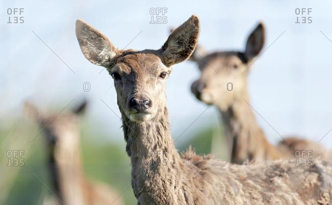 Headshot of red deer doe in sunlight.