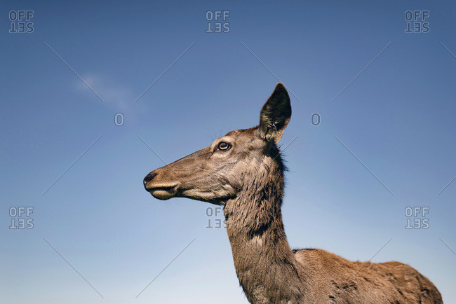 Red deer doe in the moult against blue sky. Side view.
