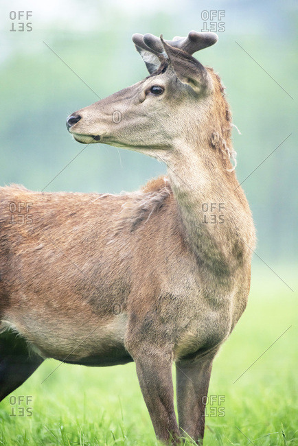 Red deer with antlers in velvet in meadow. Side view.