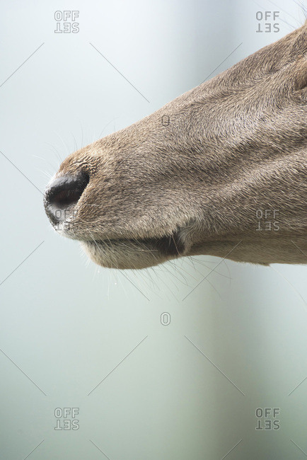 Close-up of nose of red deer hind. Side view.