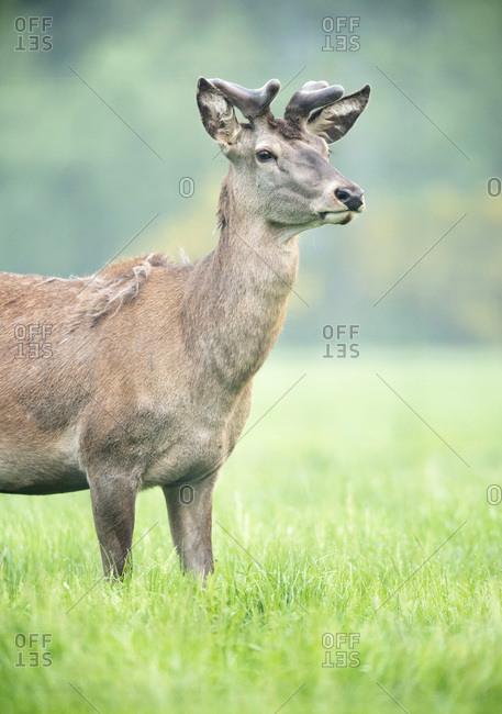 Red deer stag with antlers in velvet in meadow. Side view.