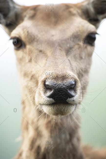 Close-up of wet nose of red deer doe.