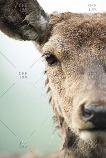 Close-up headshot of red deer doe (cervus elaphus).