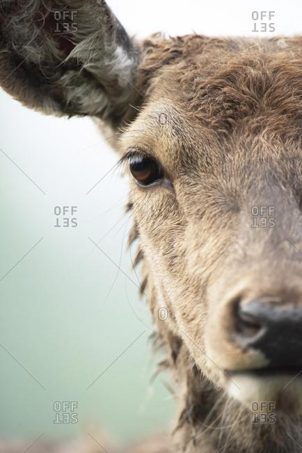 Close-up headshot of red deer doe (cervus elaphus).